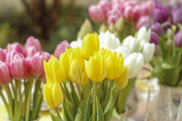 tulipas 9 Tulipas para o centro da mesa