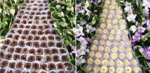 rosas de chocolate 300x147 rosas de chocolate